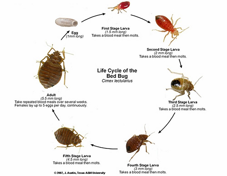 An Offensive, Sweet, Musty Odor From Their Scent Glands May Be Detected  When Bed Bug Infestations Are Severe.